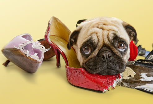 how to quickly stop dog chewing veterinary secrets blog