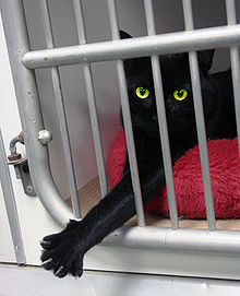 220px-Black_cat_Animal_Rescue_GalawebDesign