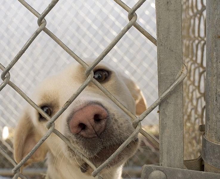 738px-Dog_in_animal_shelter_in_Washington,_Iowa