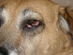 Eye Disease In Dogs And Cats How And When To Treat At