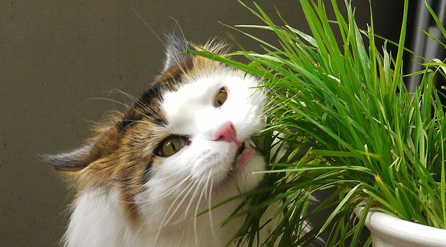 640px-Cat_Eating_Catgrass