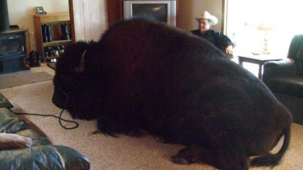Alberta Man S Unusual Pet A 1 600 Pound Bison