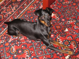 miniature-pinscher-killed-by-pit-bull