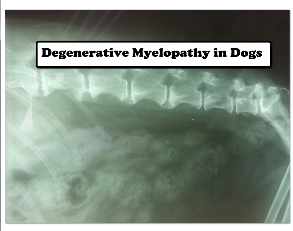 Degenerative Myelopathy In Dogs Veterinary Secrets Blog