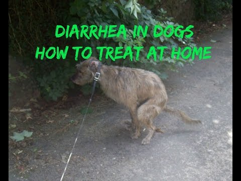 Video Diarrhea In Dogs How You Can Treat It At Home