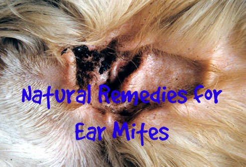 Natural Solutions For Ear Mites In Dogs And Cats