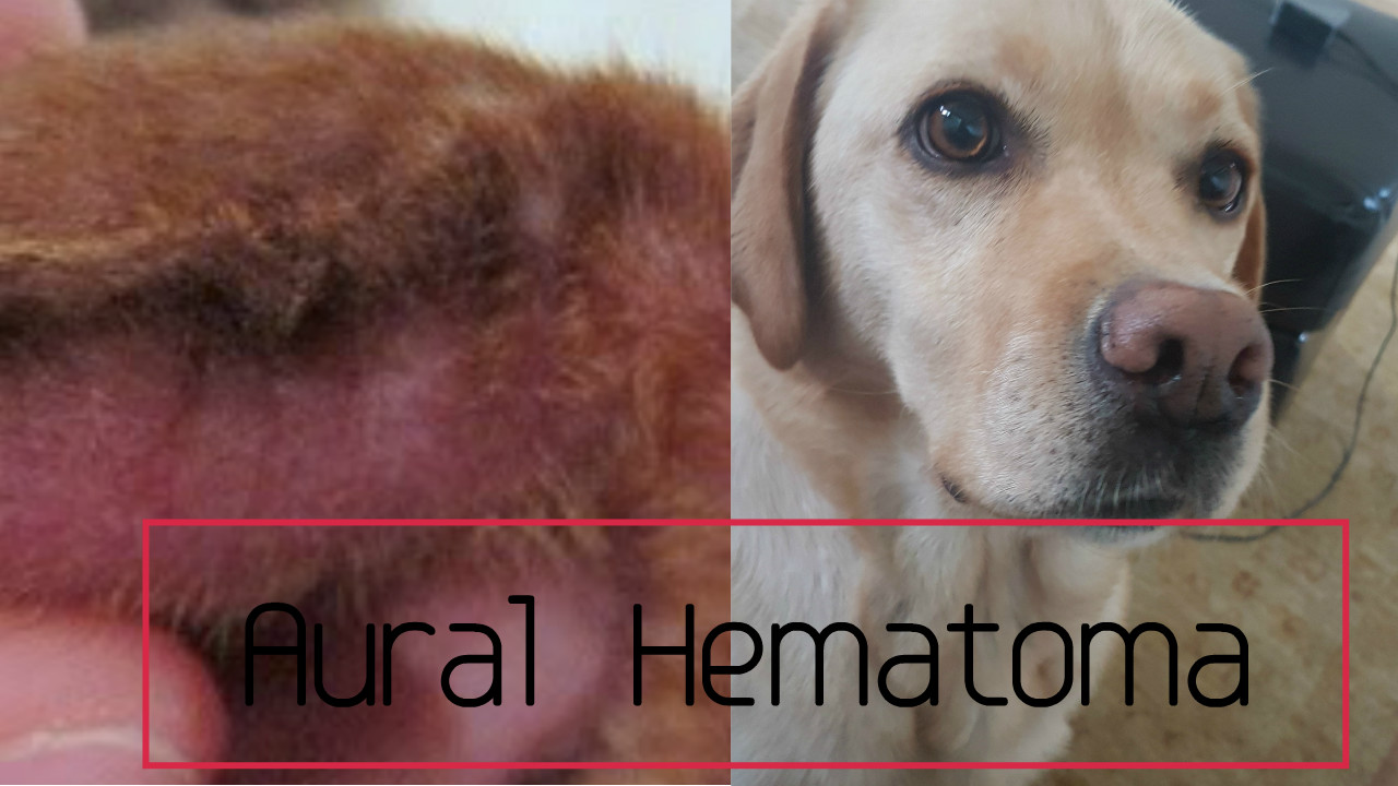 Hematoma On Dogs Ear How To Treat This