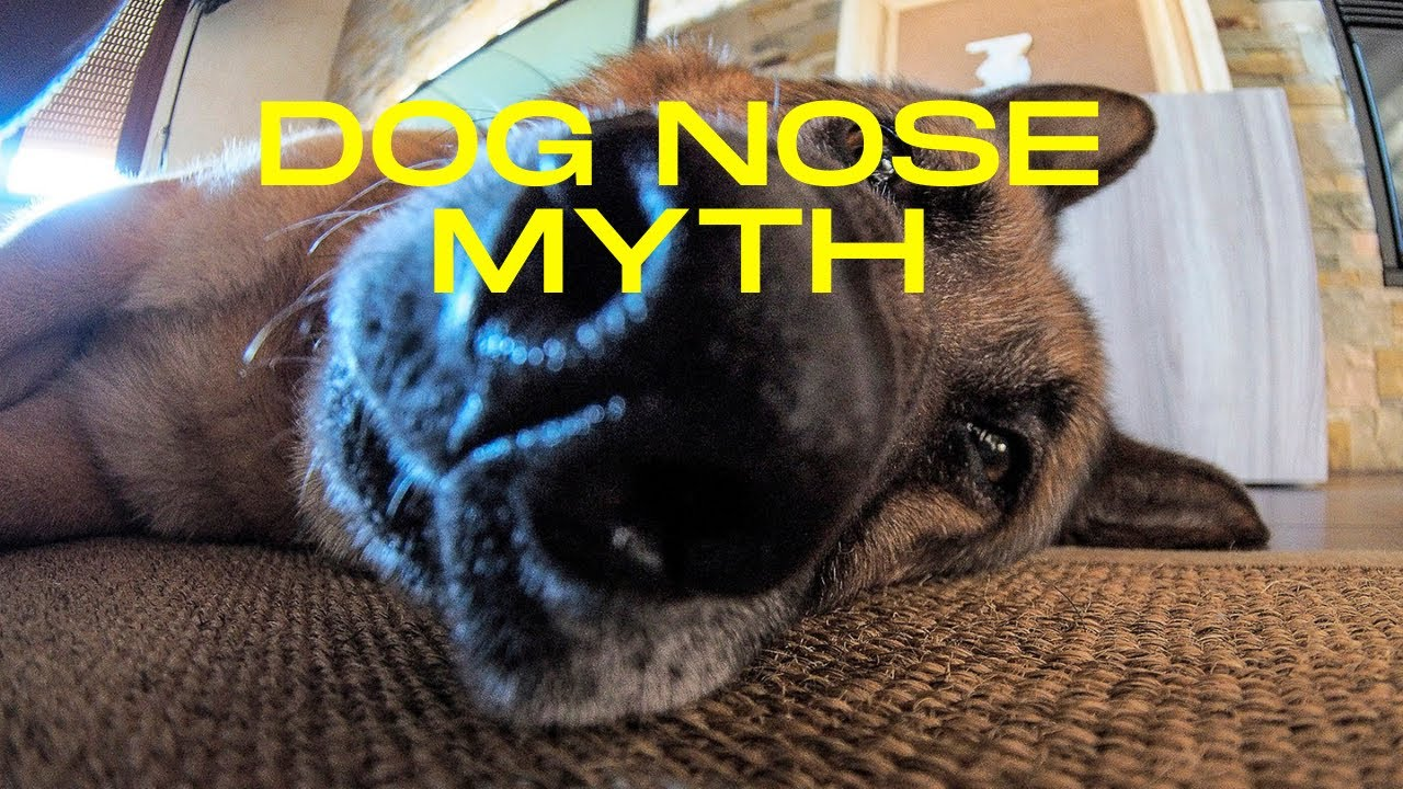 Wet Dog Nose Myth? #Shorts