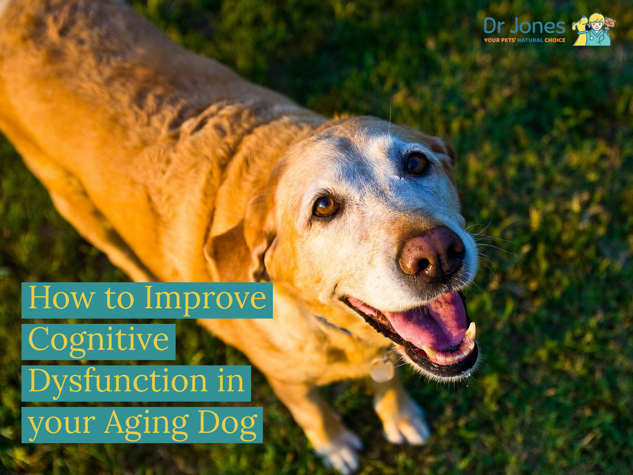 How to Improve Cognitive Dysfunction in your Aging Dog