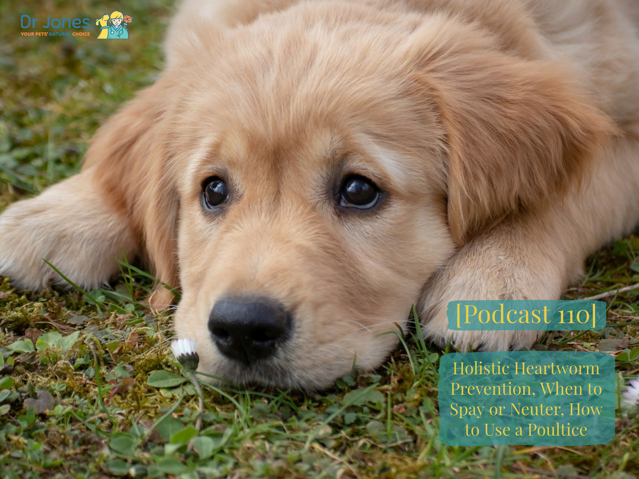 [Podcast 110] Holistic Heartworm Prevention, When to Spay or Neuter, How to Use a Poultice