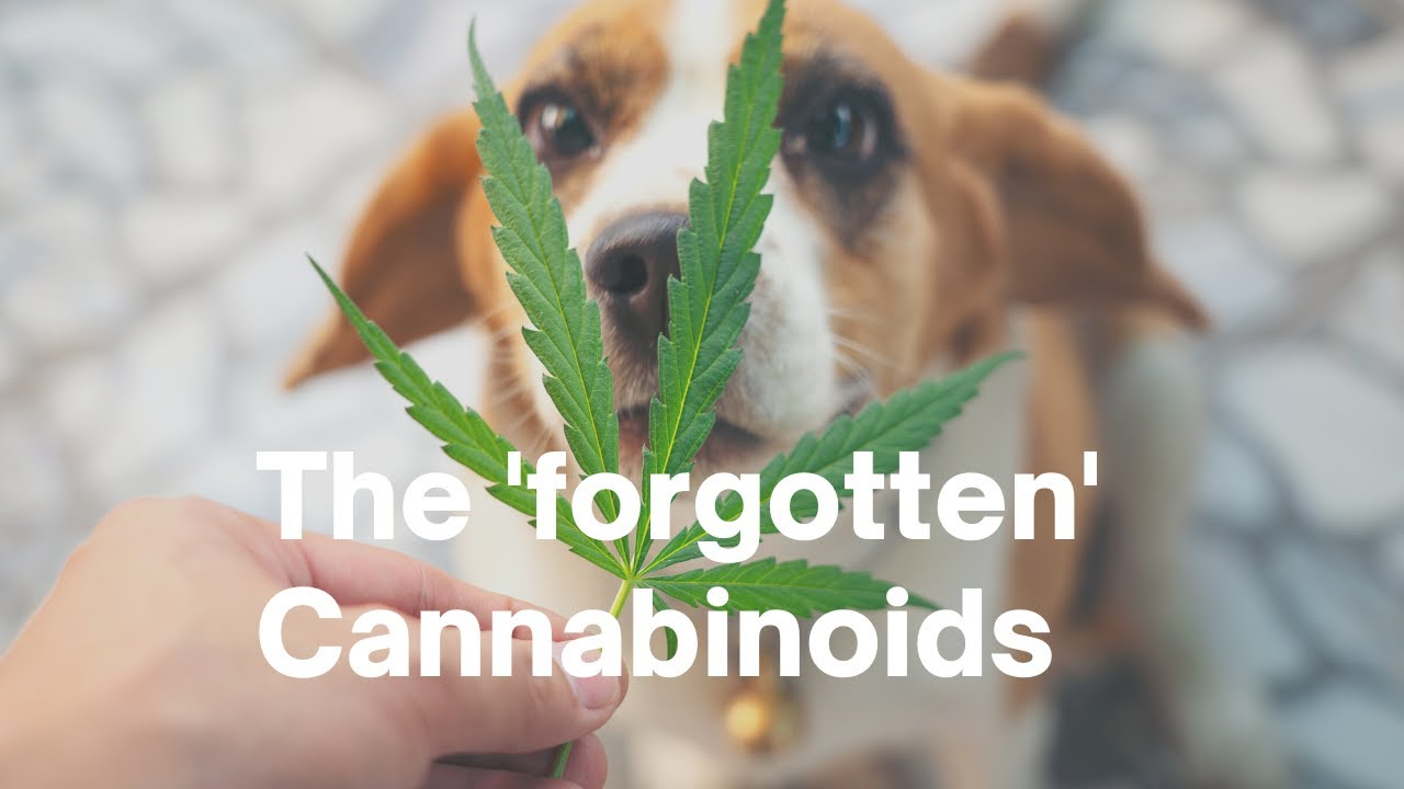 Medical Marijuana: 'Other' Cannabinoids that can *really* help your pets