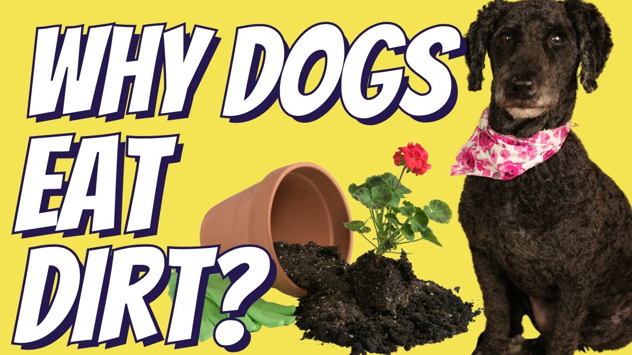 Why Your Dog Eats Dirt